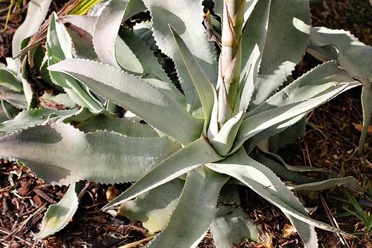 aloe-plant-cactus