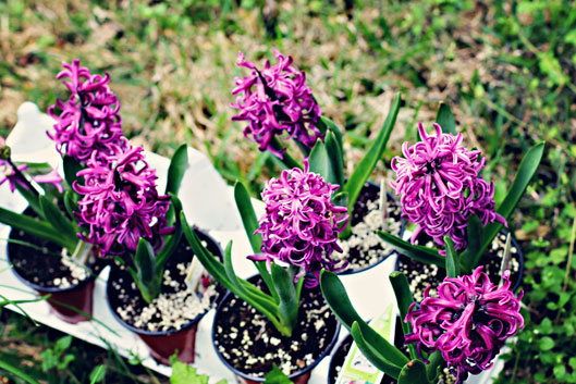 hyacinth-purple-flowers