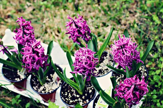 hyacinth-purple-flowers