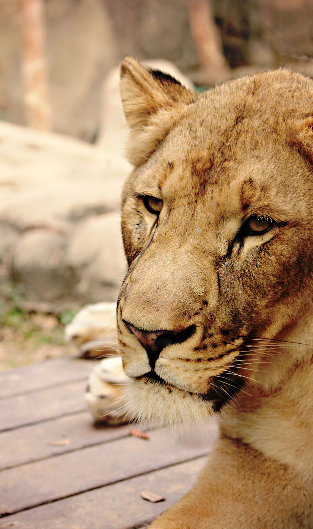 close-up-lions-face-zoo