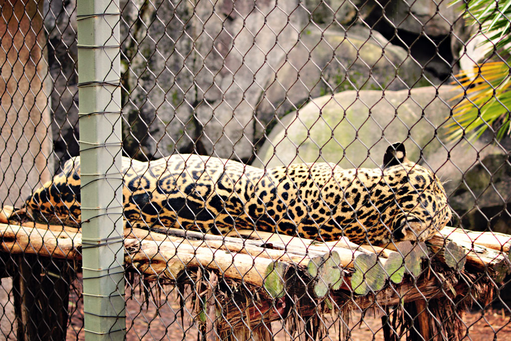 leopard-houston-zoo