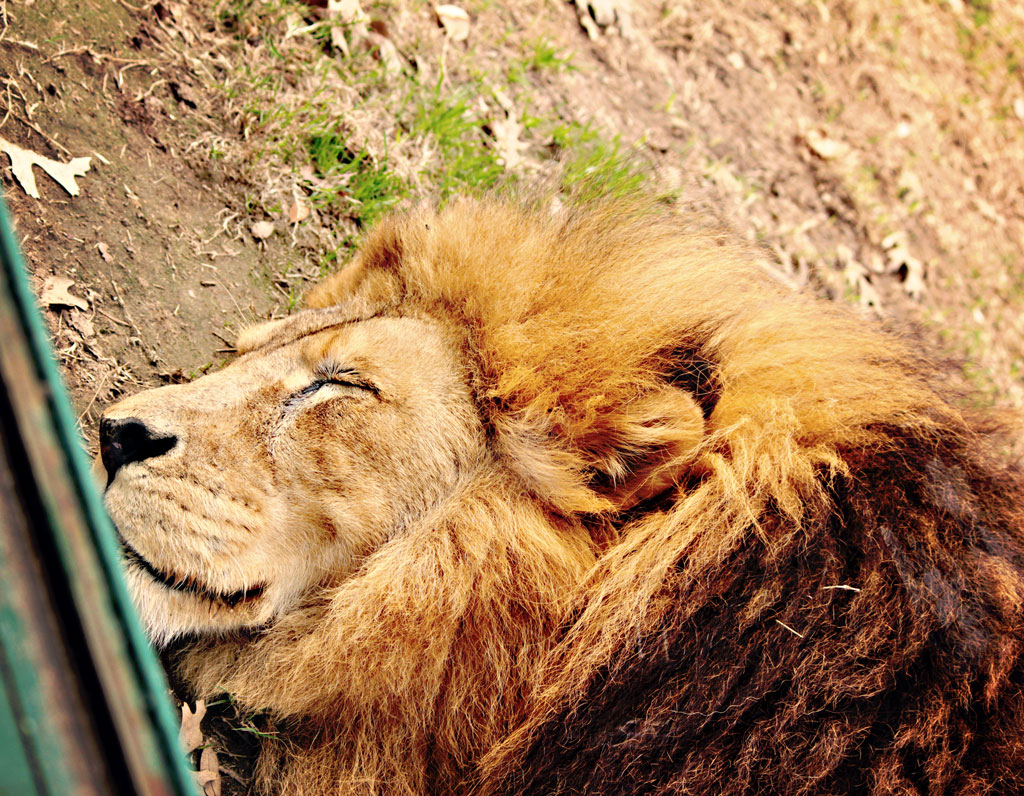 lion-sleeping-houston-zoo
