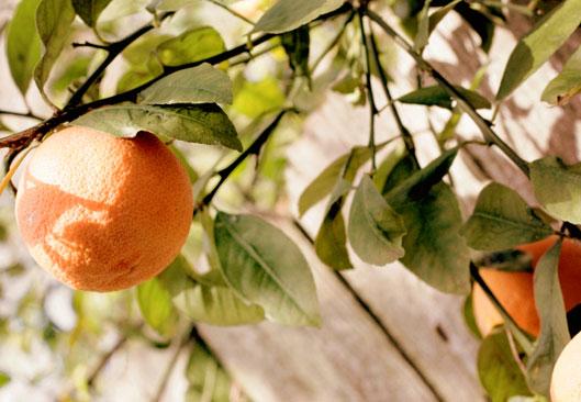 orange-trees-macro-shot