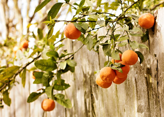 oranges-hanging-over-fence