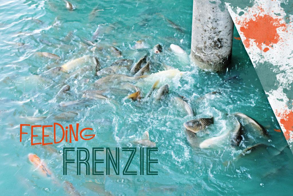 feeding-frenzie-koi-pond-ho