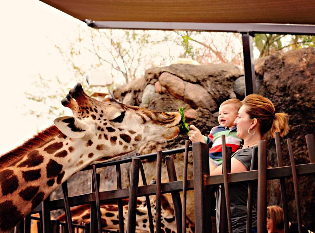 feeding-giraffs-lettuce-lea