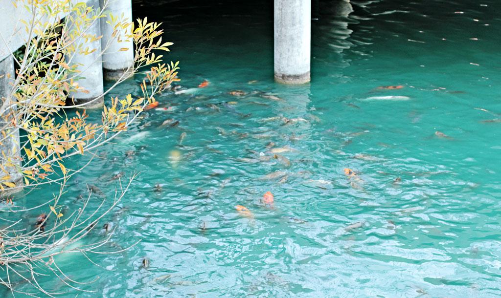 koi-swimming-in-pond-texas