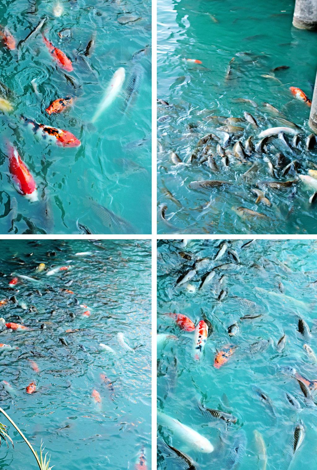 razoos-fish-pond-houston-texas
