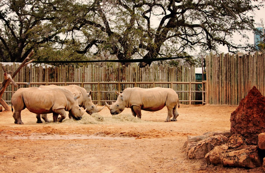 rhinoceras-at-zoo-houston-t