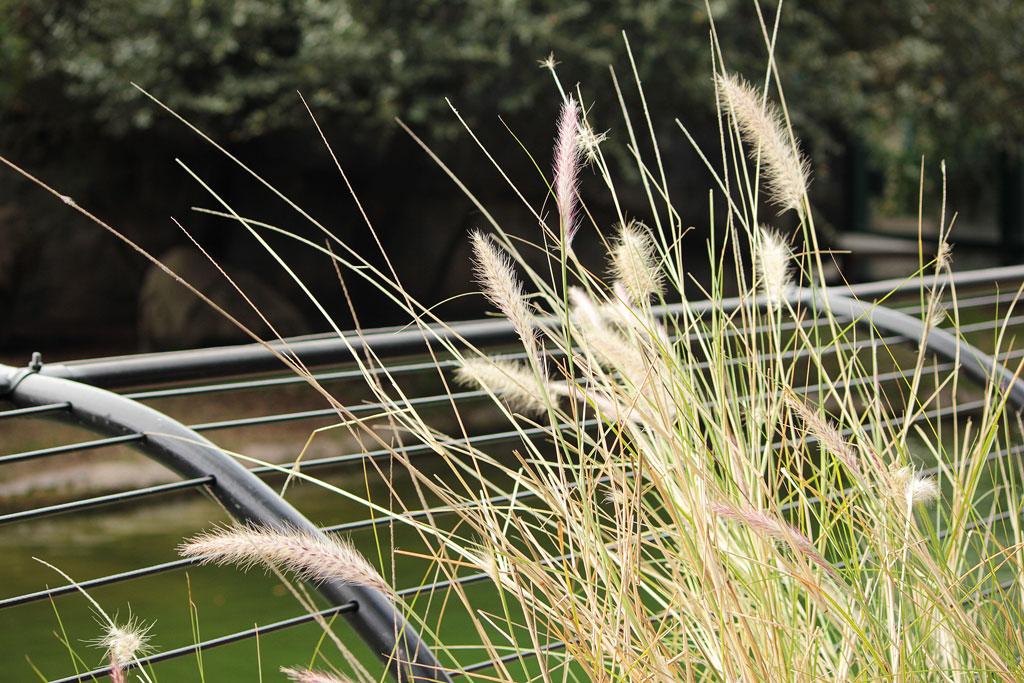 sea-oat-grasses