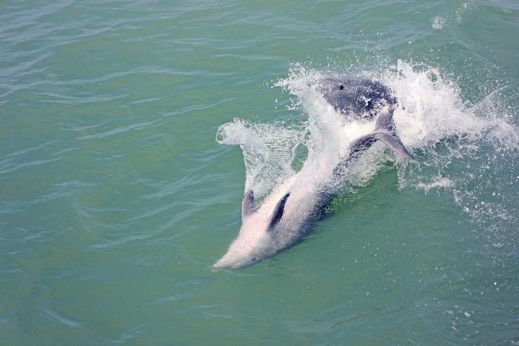 bottlenose-dolphin2