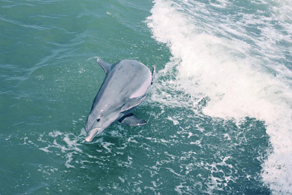 bottlenose-dolphin3