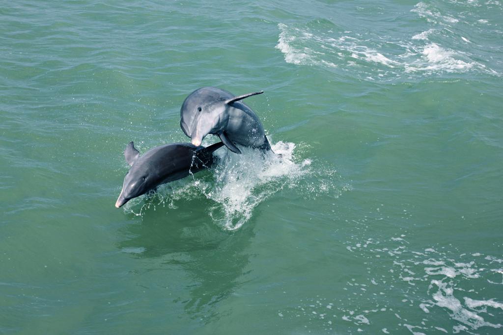bottlenose-dolphin4