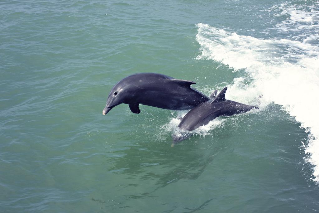 bottlenose-dolphin5