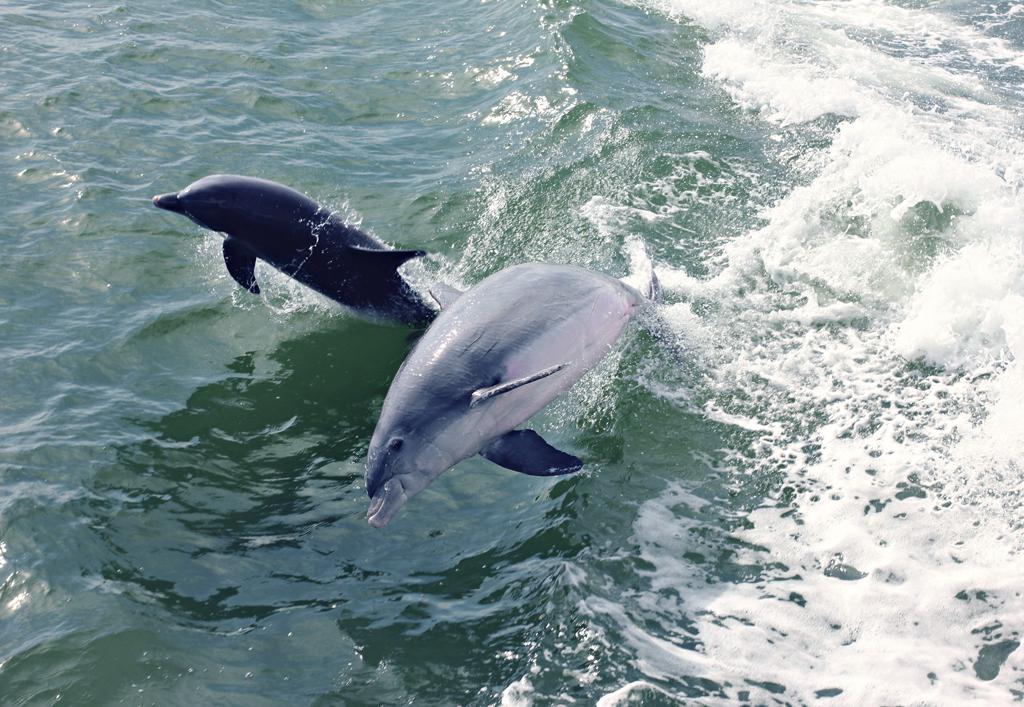 bottlenose-dolphin6