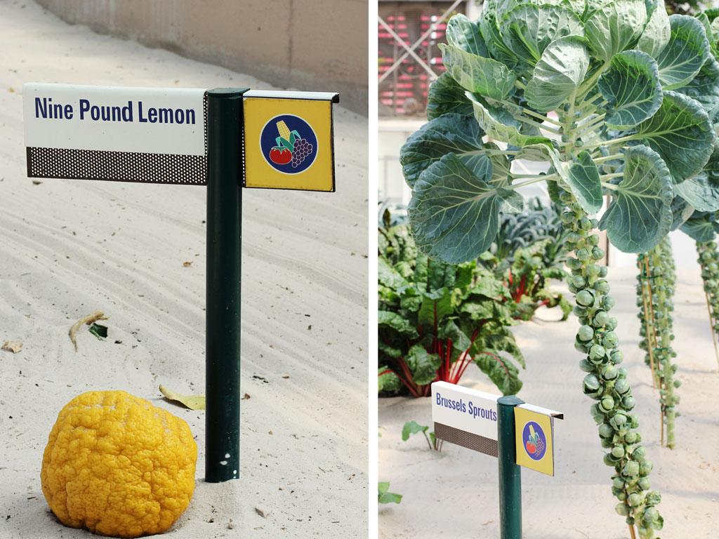 nine-pound-lemon-brussel-sp