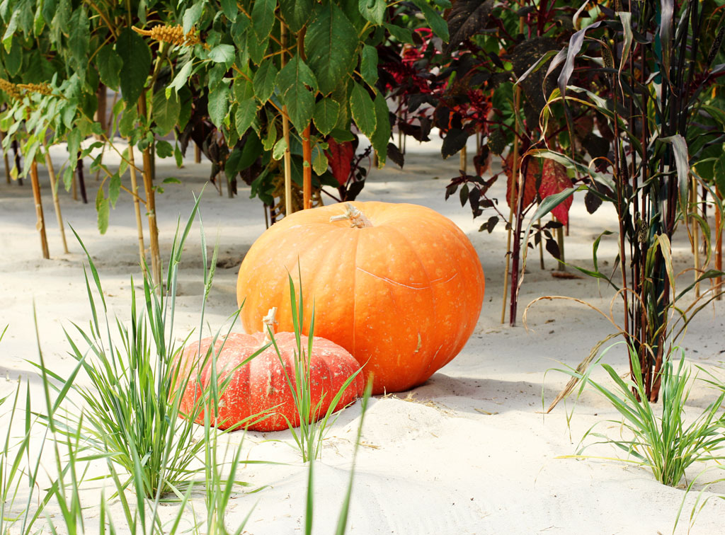 pumpkins-in-greenhouse-epco