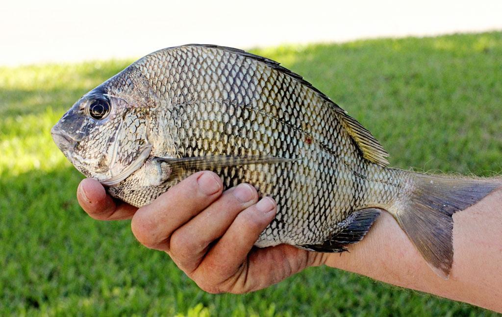 sheephead-fish