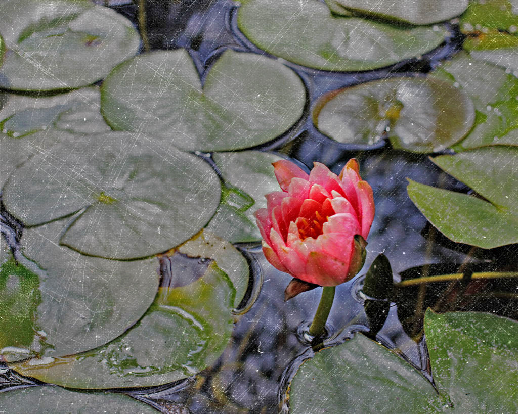 water-lily-art
