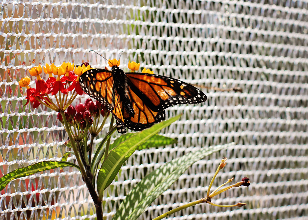 butterfly-on-netting-flower-orlando
