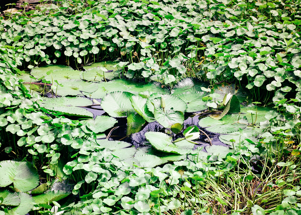 lily-pad-in-ponds-southern-florida
