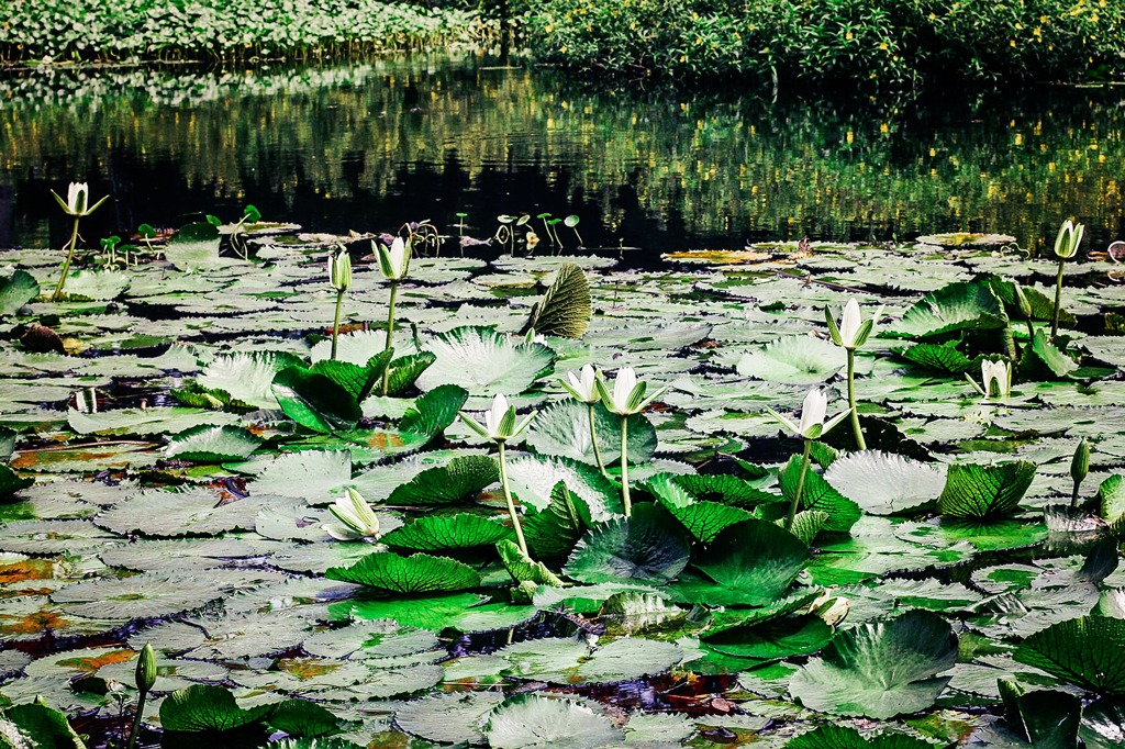 lily-pads-in-florida-creek