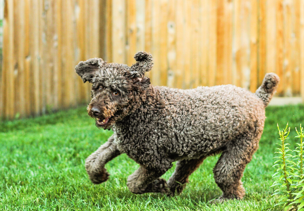 adorable-giant-brown-poodle-running