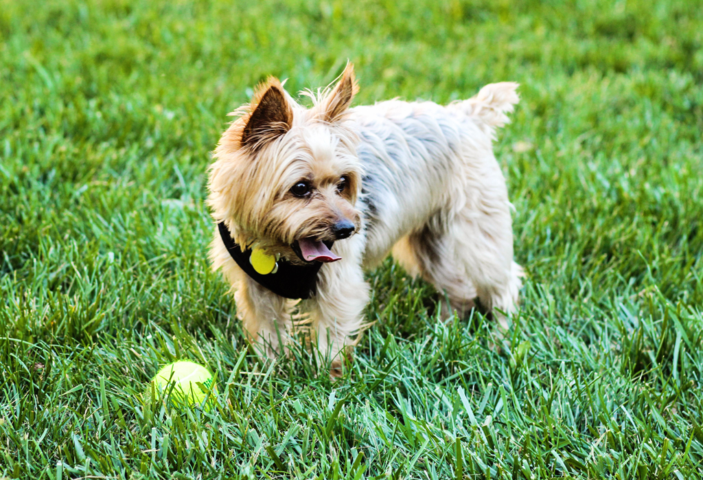 madison-the-adorable-female-yorkie