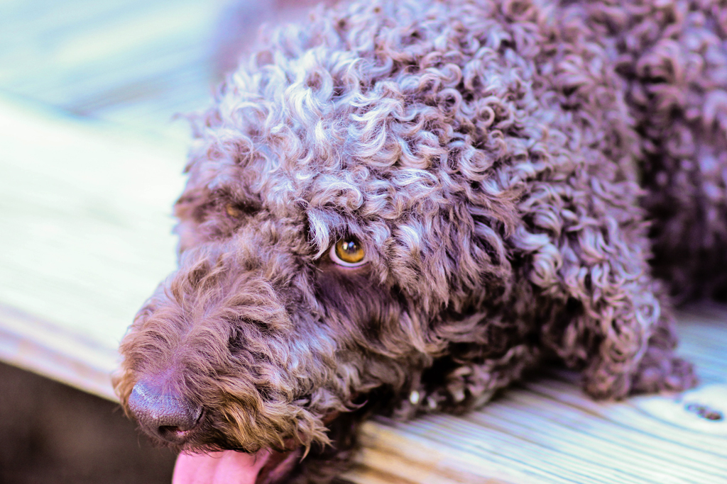 mason-the-giant-brown-poodle
