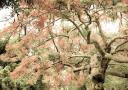 poinsetta-trees-florida