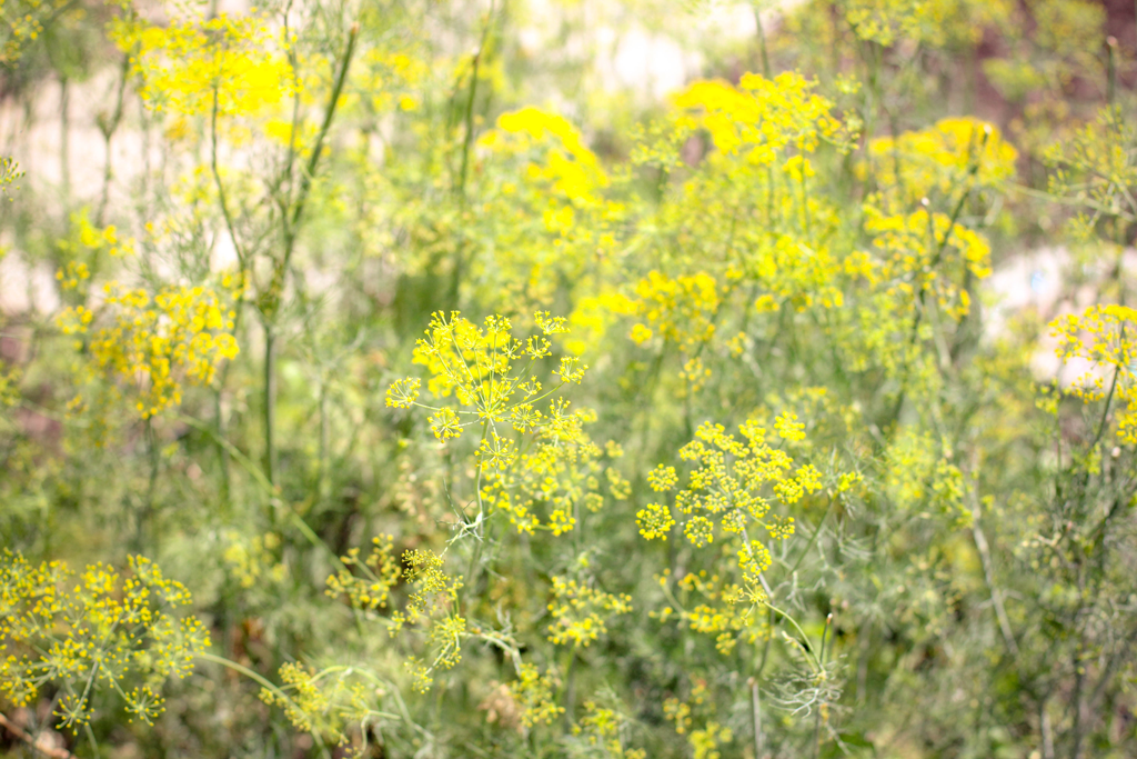yellow-queen-lace-flowers-indiana