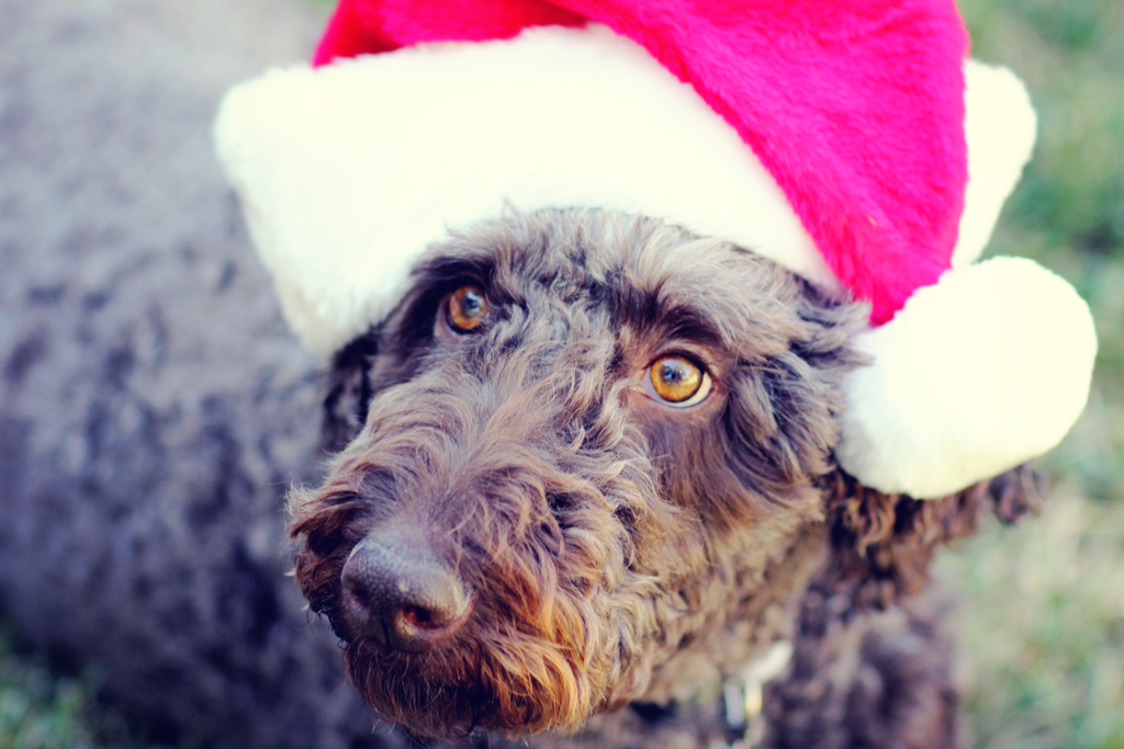 giant-poodle-christmas-photo-shoot-dog-photographer