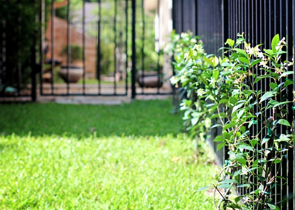 climbing-jasmine-for-your-garden