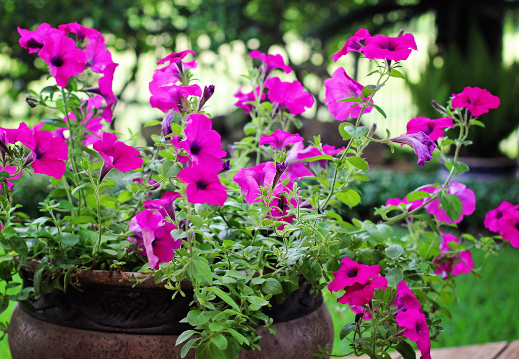 petunias-in-flower-pots