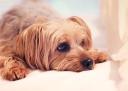 yorkie-dog-portrait