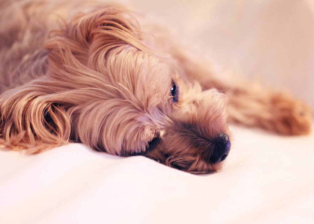 yorkshire-terrier-9-years-old-going-to-bed