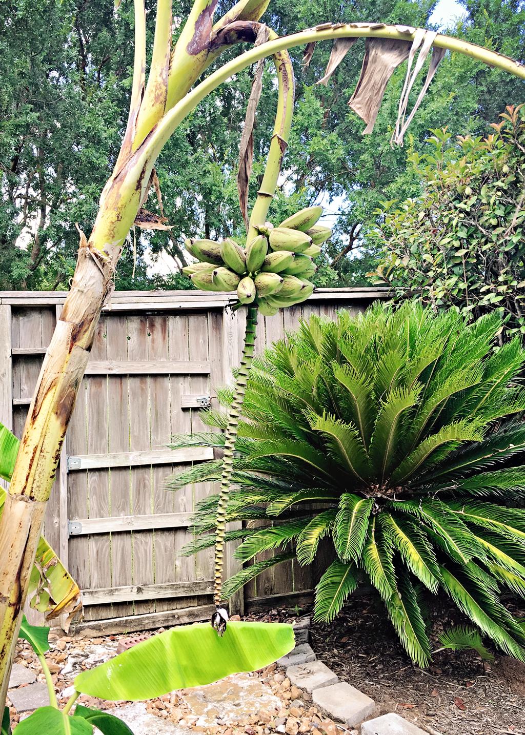 banana-tree-roots